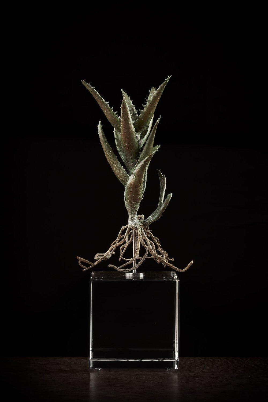 <i>Aloe concinna</i>