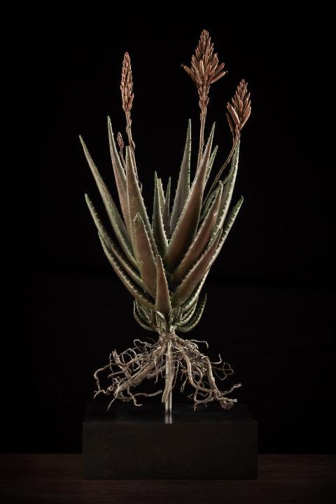 <i>Aloe Hybrid Bushwacker</i>