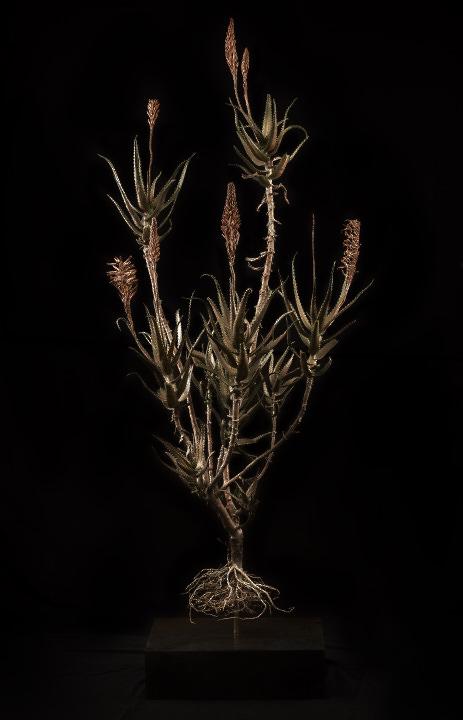 <i>Aloe Arborescence</i>