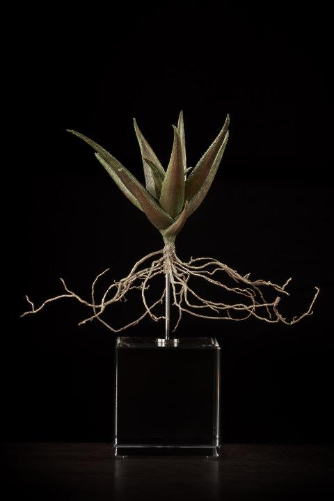 <i>Aloe SP ii</i>