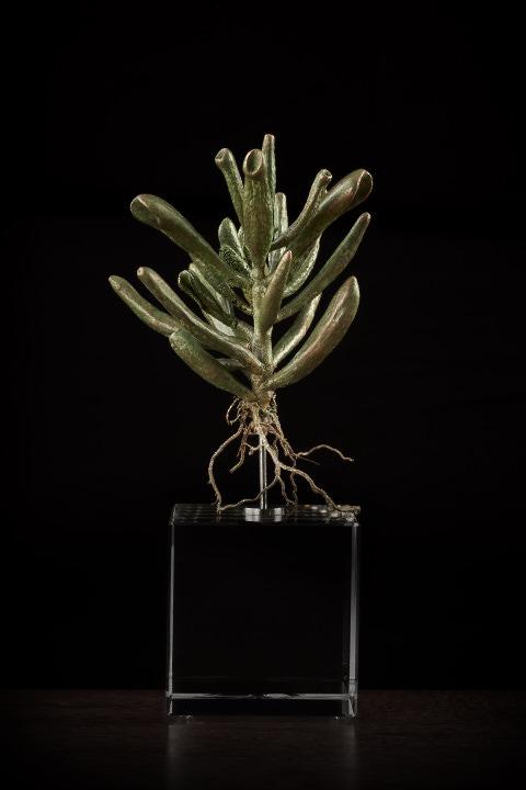 <i>Crassula Portulacea Gollum</i>