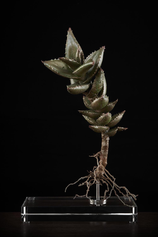 <i> Aloe distans </i>