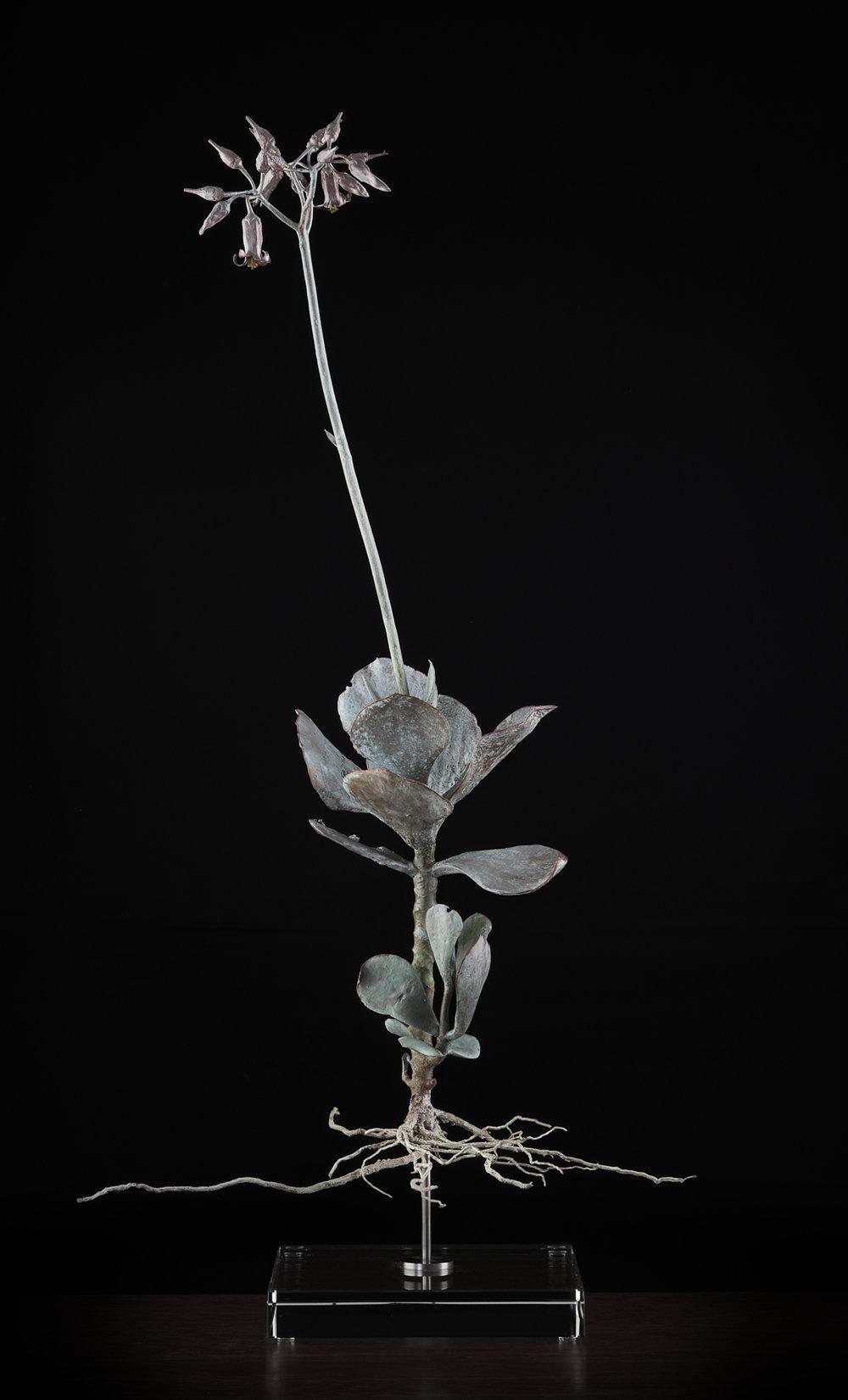 <i> Coteledon orbiculata </i>