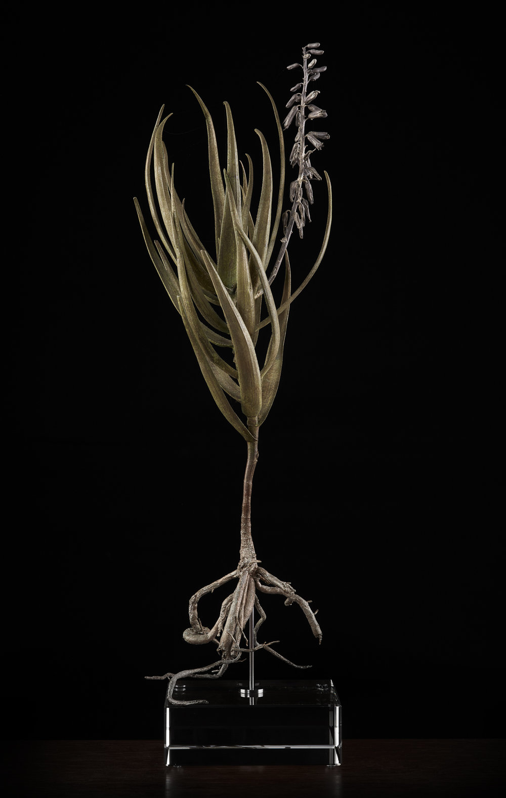 <i> Aloe Tenuior </i>