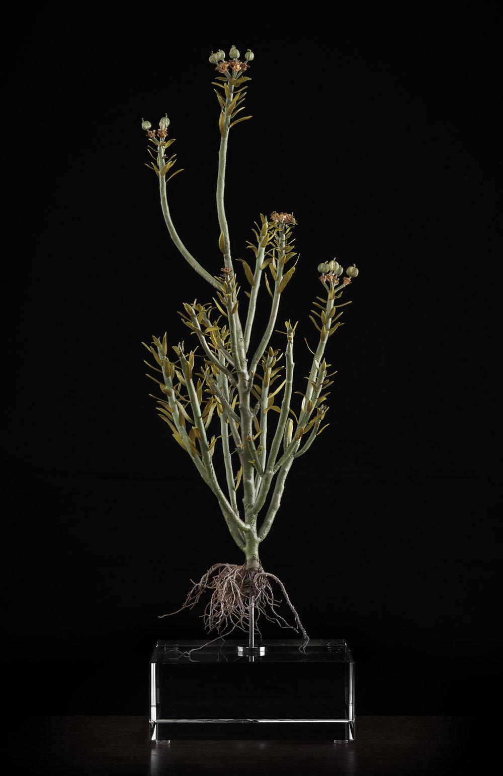 <i> Euphorbia mauritanica </i>
