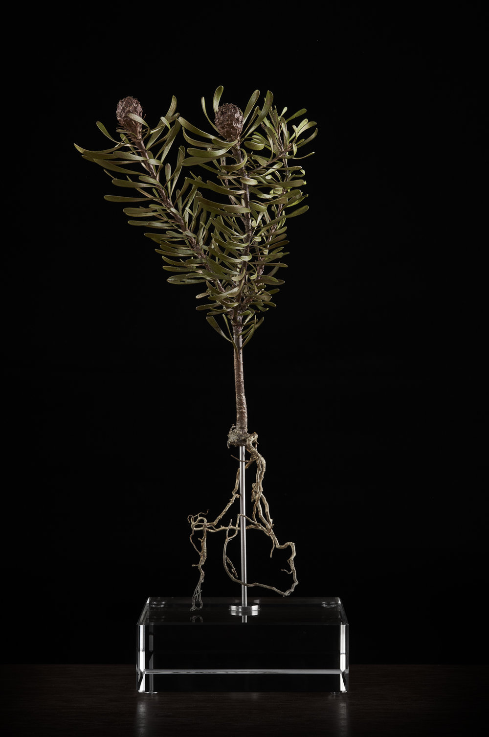 <i> Leucadendron galpinii </i>