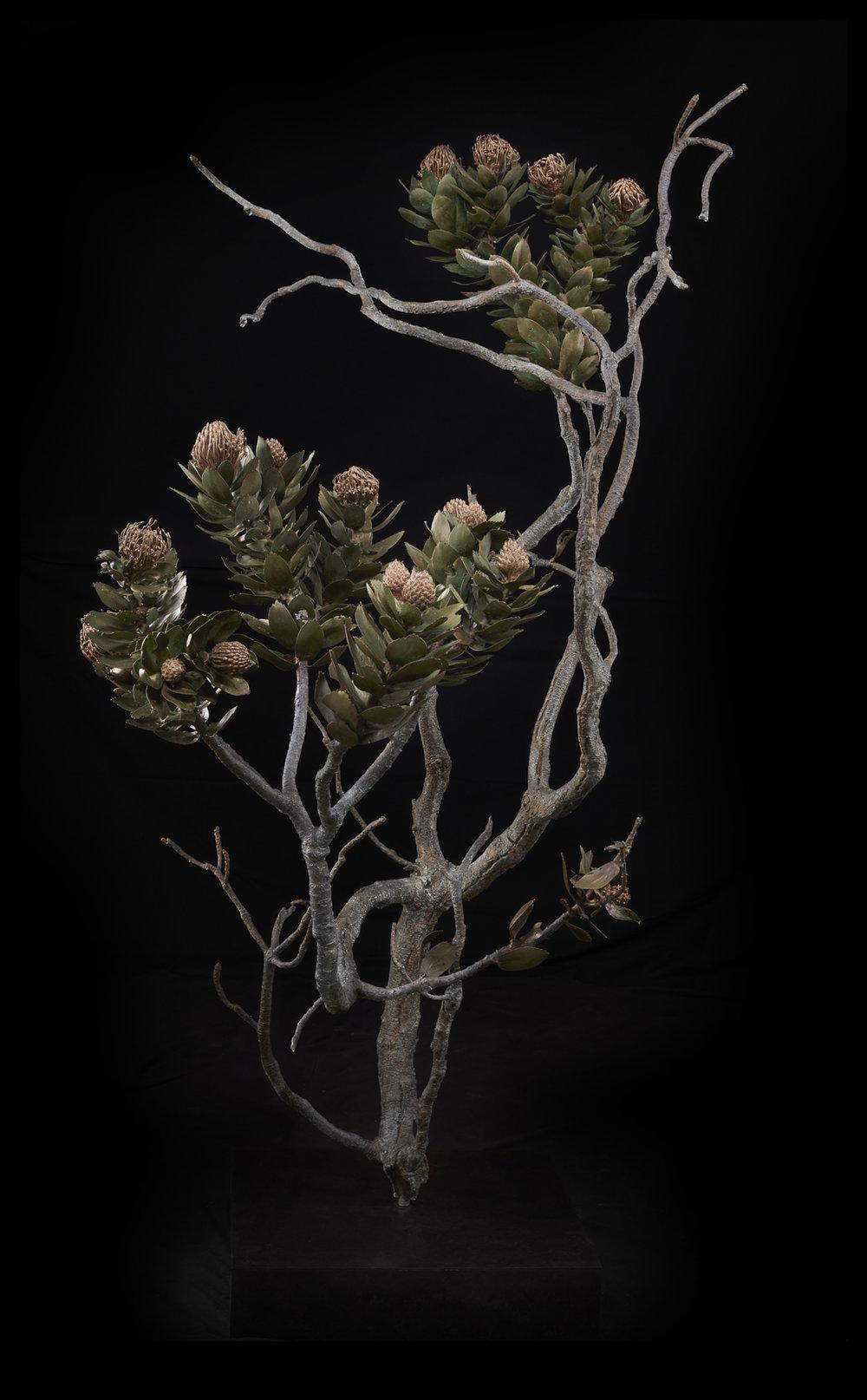 <i> Leucospermum conocarpodendron subsp. conocarpodendron </i>