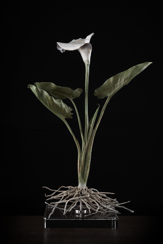 <i> Zantedeschia aethiopica </i>