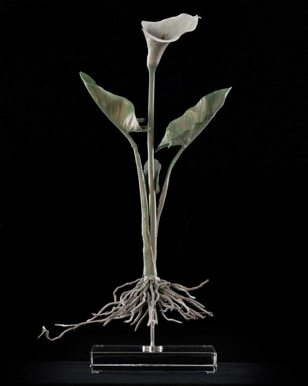 <i>Zantedeschia aethiopica (arum lily)  </i>