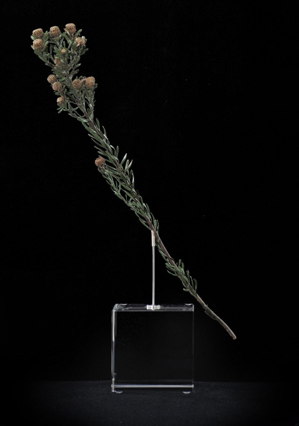 Leucadendron linifolium.jpg