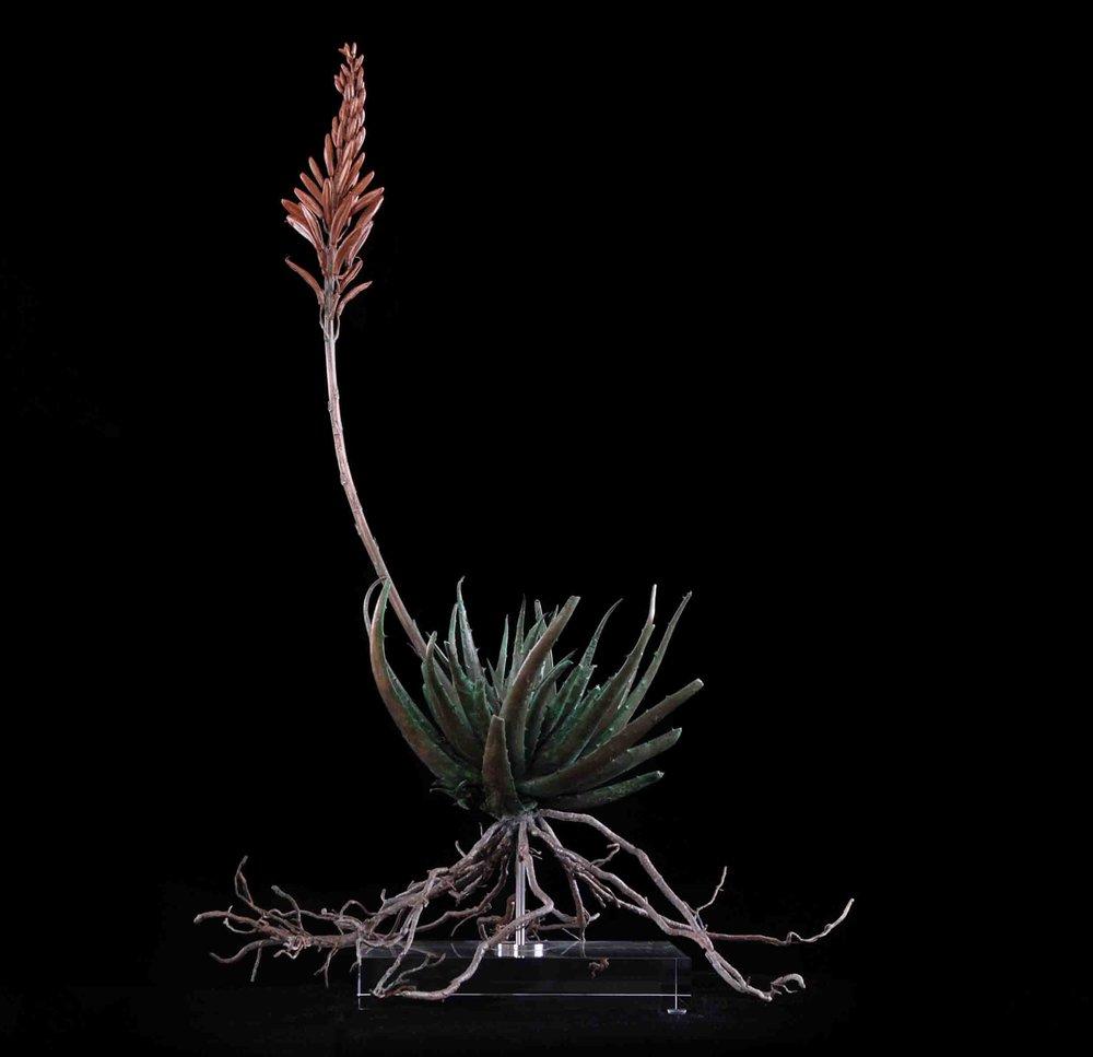 Aloe  Joker Hybrid