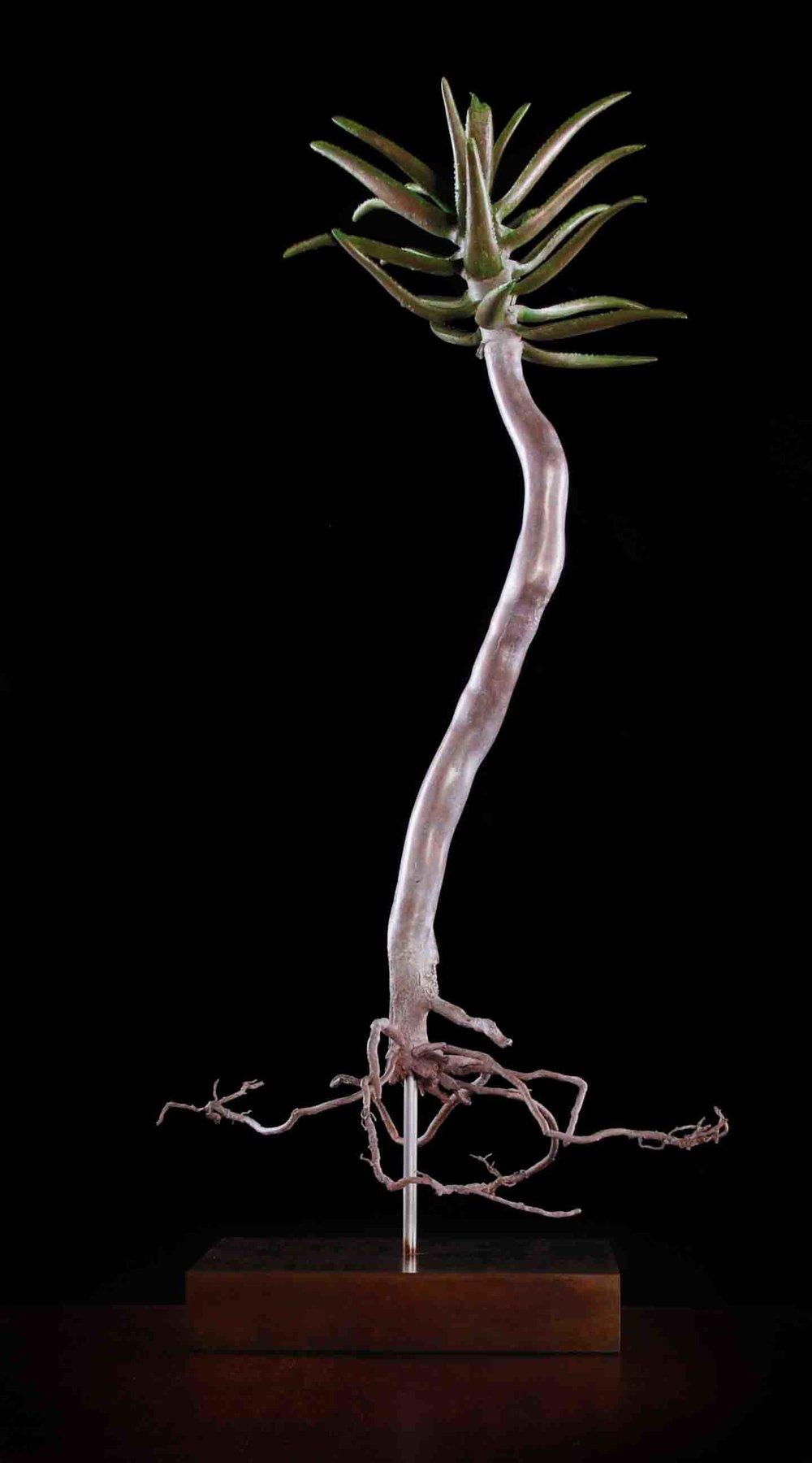 Aloe dichotoma (Quiver Tree)