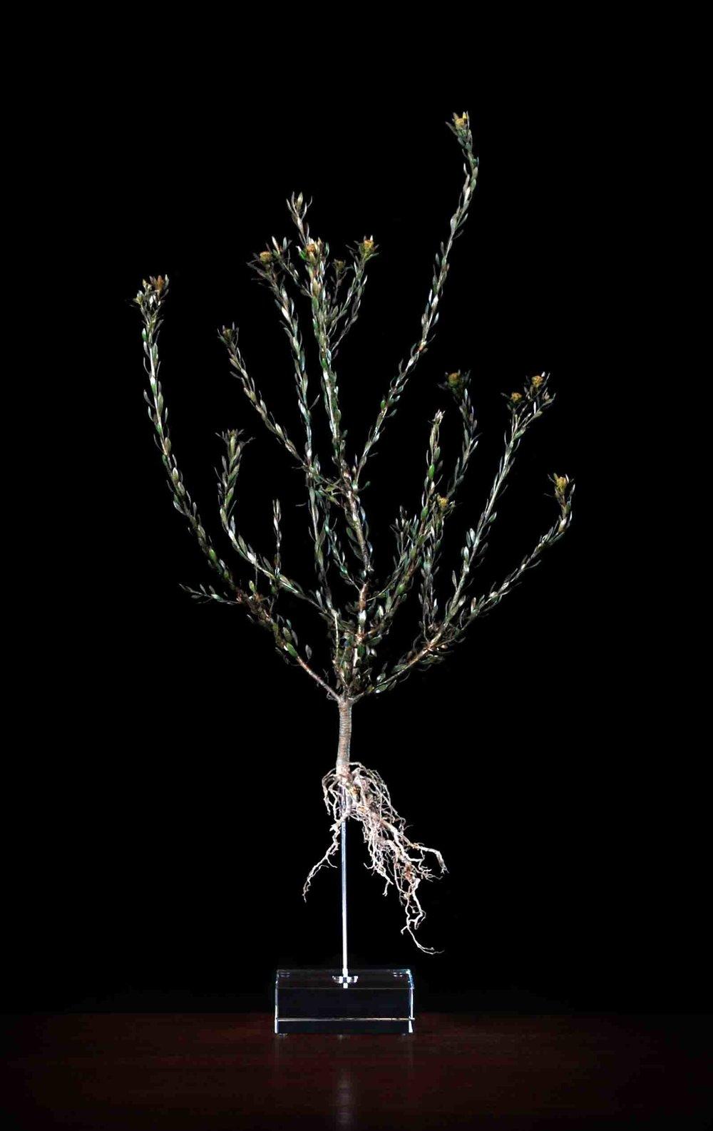 Leucodendron linefolium