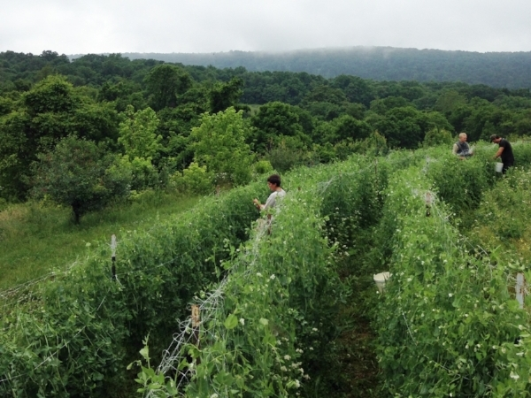 Our meals will be made from ingredients grown on the organic farm at the Blue Ridge Center for Environmental Stewardship, Purcellville, Virginia.