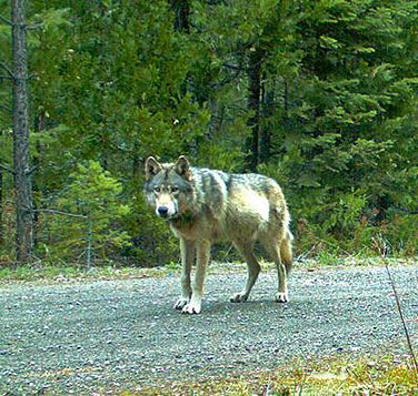 OR7 - Photo courtesy of the Oregon Department of Fish and Wildlife