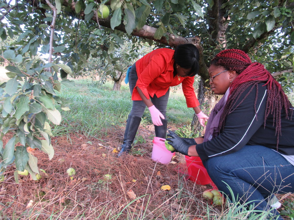 Gleaning Oct. 28 2017 (16).JPG