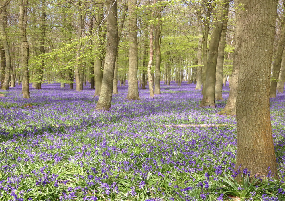 Bluebells on Ashridge estate