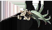 australian-gum-leaves-sm.png