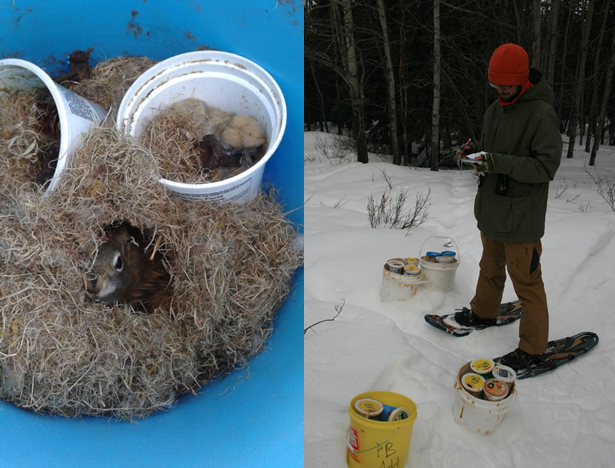 Left: Female squirrel guarding her peanut butter (credit: Simon Tardif); Right: Carrying 20kg of peanut butter through the boreal forest (credit: Andrea Wishart).