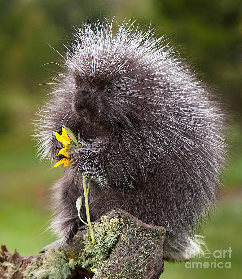 porcupine-with-arrowleaf-balsamroot-jerry-fornarotto.jpg