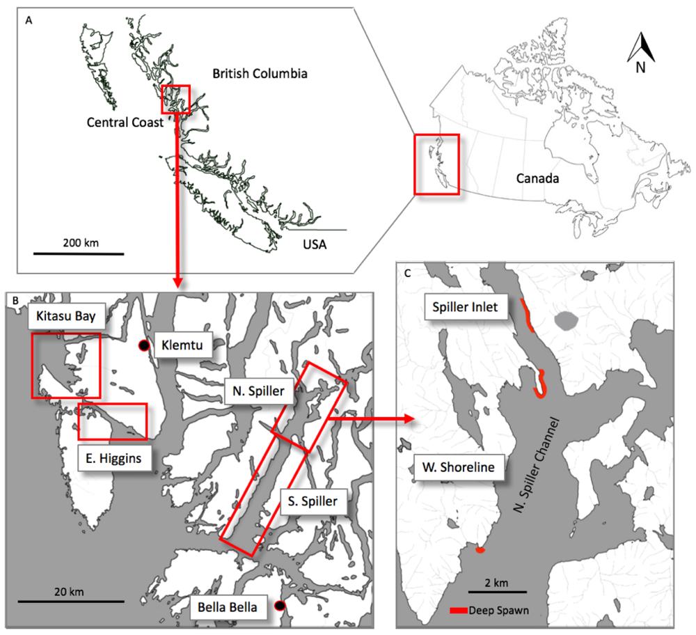 - Study area on the central coast of British Columbia. Labels in Panel B show locations of the 4 spawning areas surveyed during the 2016 herring spawn: Kitasu Bay, East Higgins Pass, south Spiller Channel, and north Spiller Channel. Red outlines in Panel C show locations where deep spawn was observed – in Spiller Inlet and the west shoreline in north Spiller Channel.