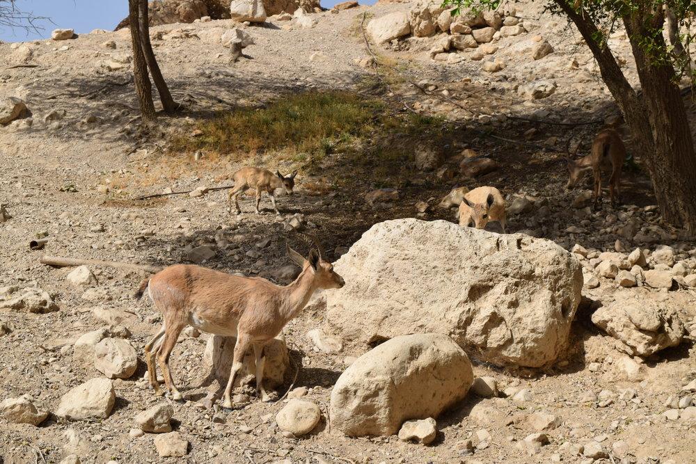 Familia de cabras montesas