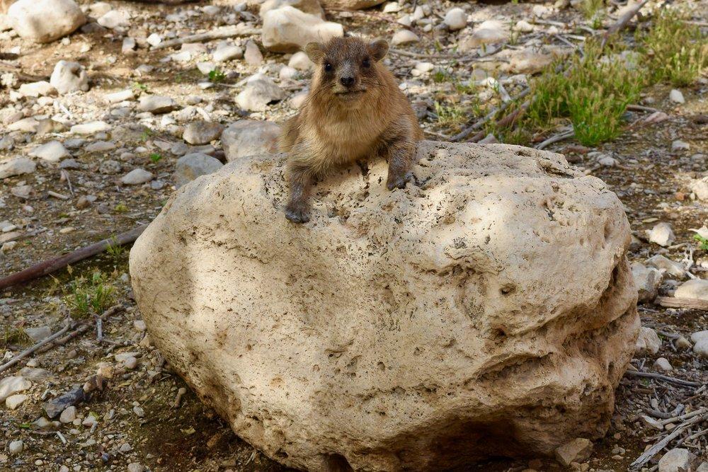 Hyrax de roca o damán