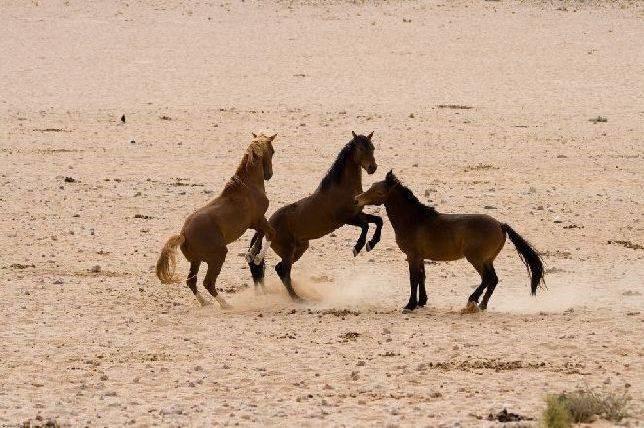 Tres caballos del desierto jugando un ratito