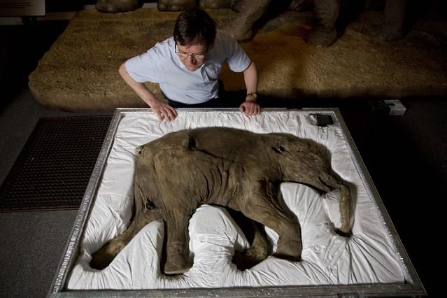 Cría de mamut congelada.