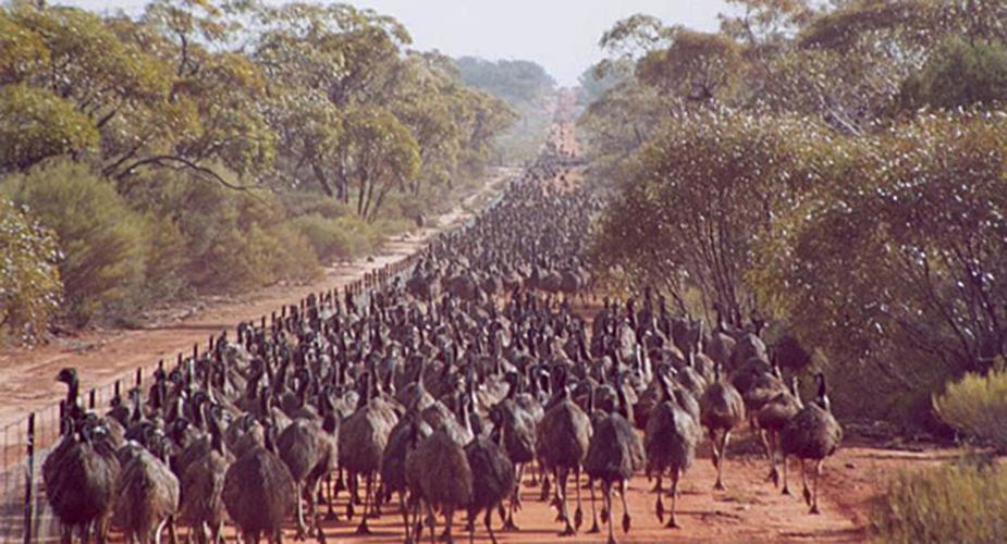 Un montón de emús juntos