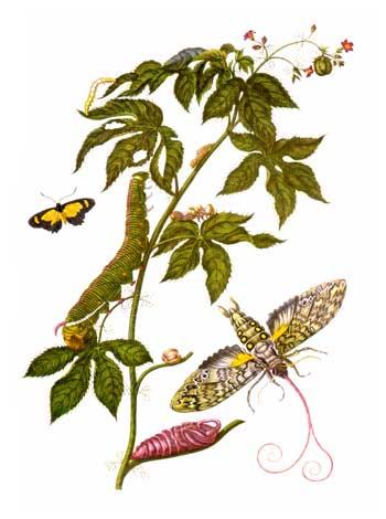 Ilustración de la obra  Metamorfosis de los insectos del Surinam .
