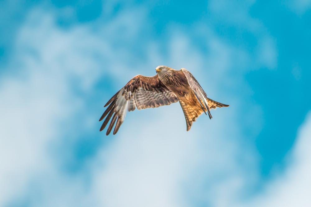 Graceful Red Kite