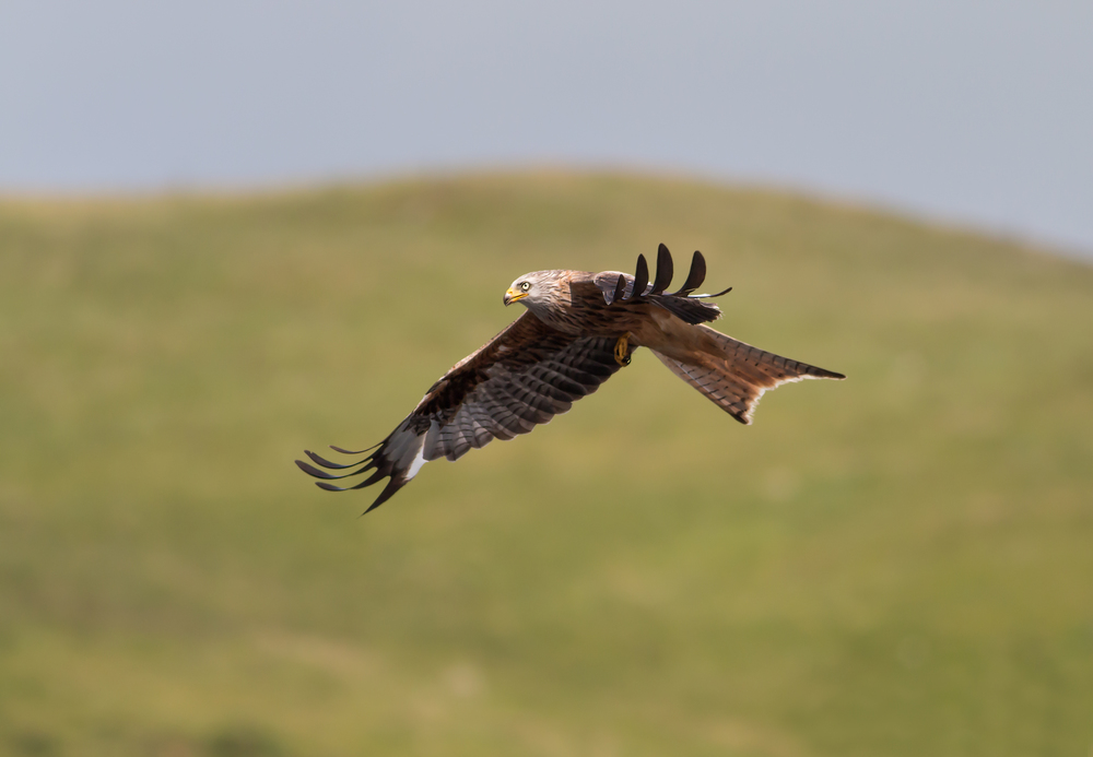 Red Kite early evening