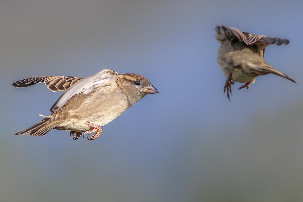 Female Sparrow