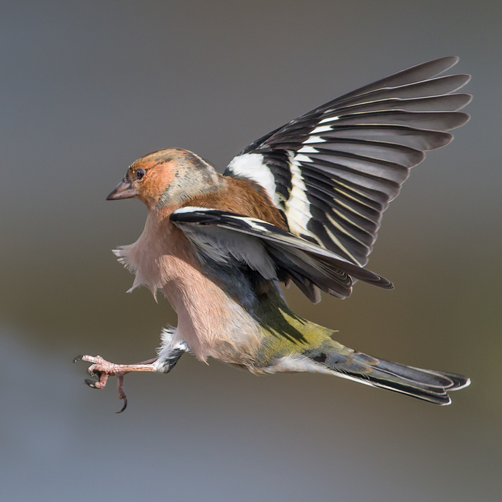 Male Chaffinch coming in to land