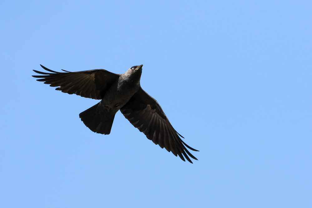 A Jackdaw flying overhead
