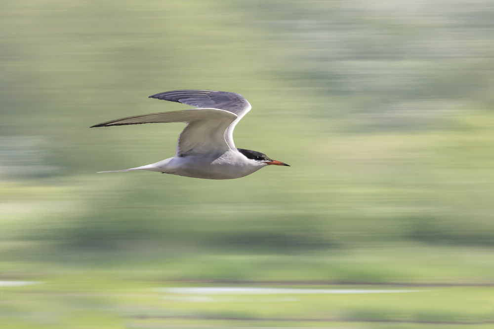 A streamlined Common Tern