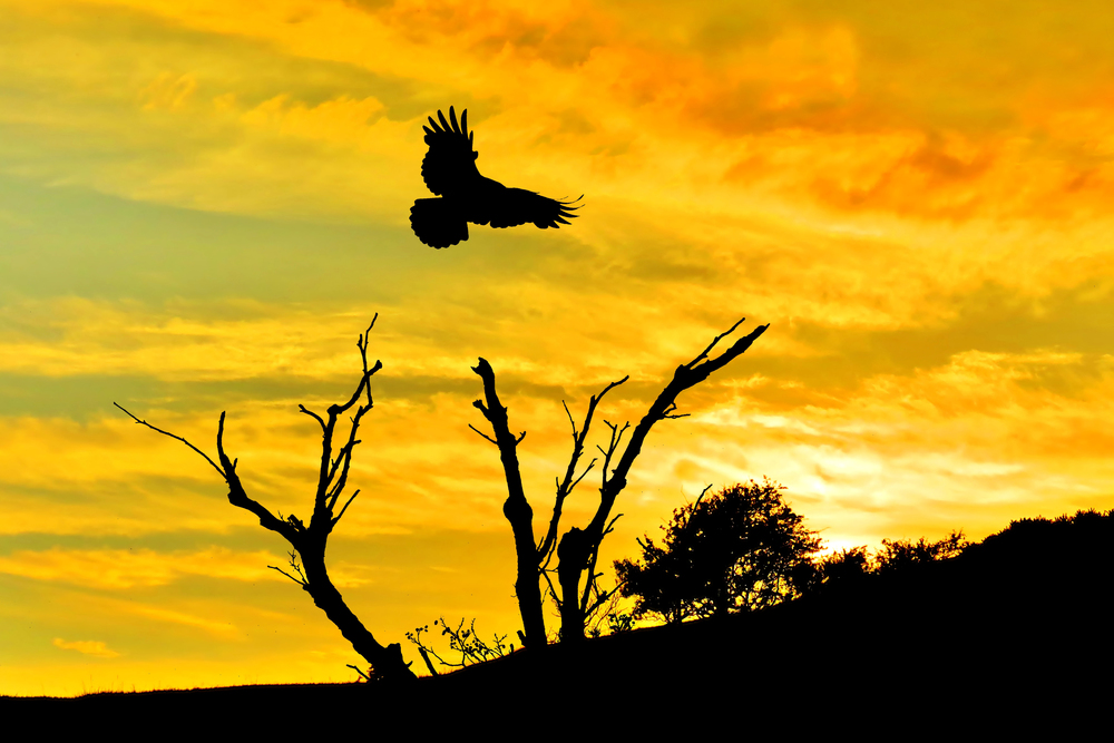 A Crow at sunset
