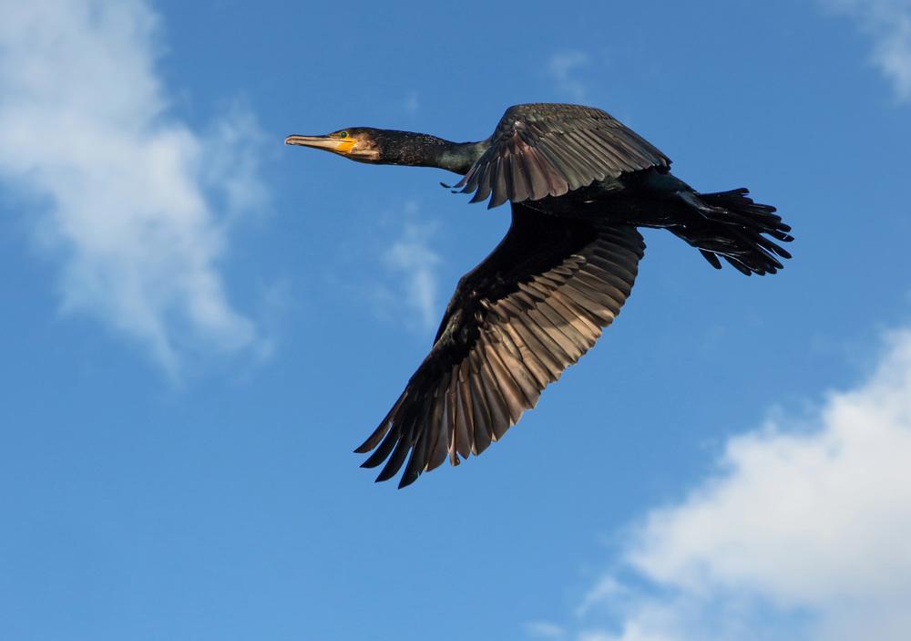Low flying Cormorant