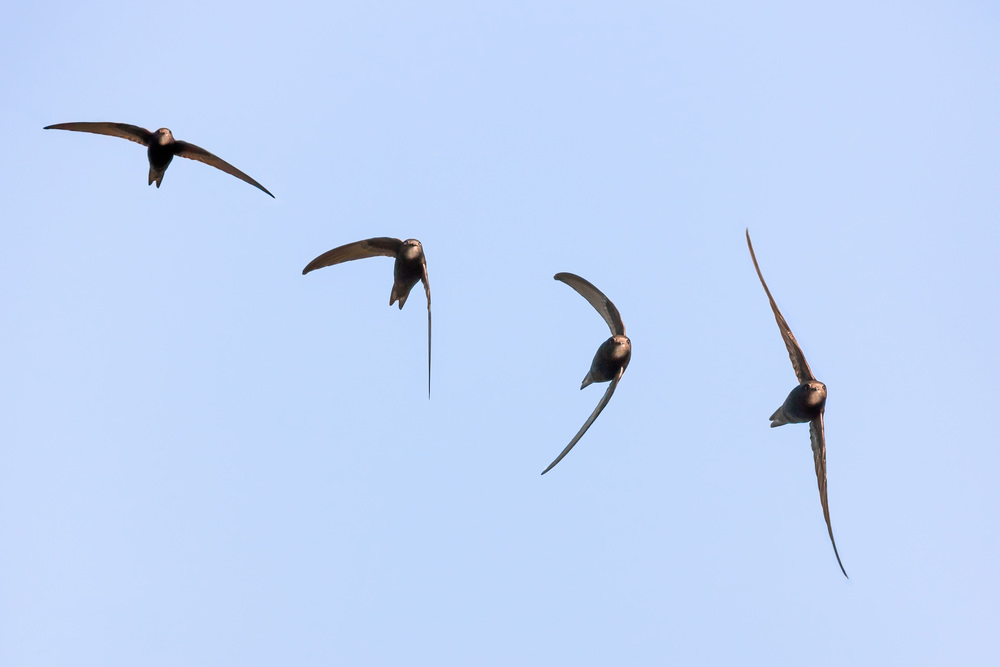 A Swift in flight (composite)