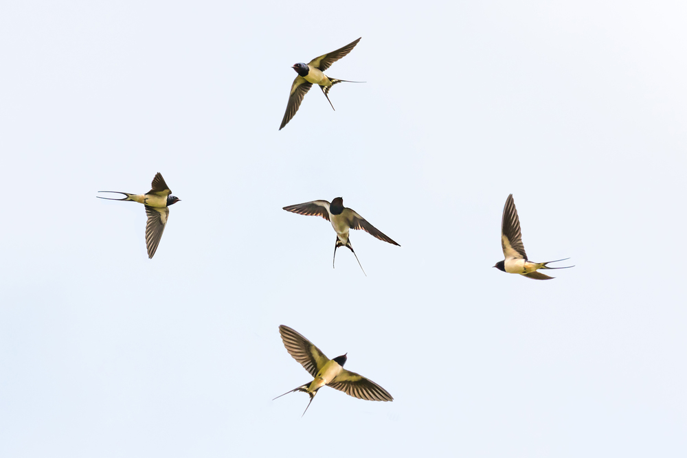 Various Swallows (composite)