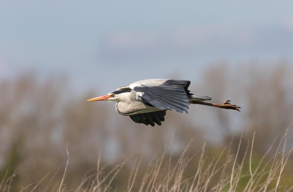 Low flying Grey Heron