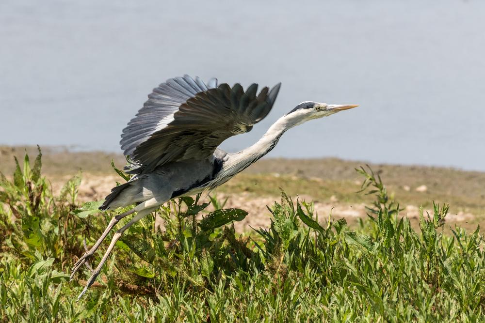 Grey Heron take off