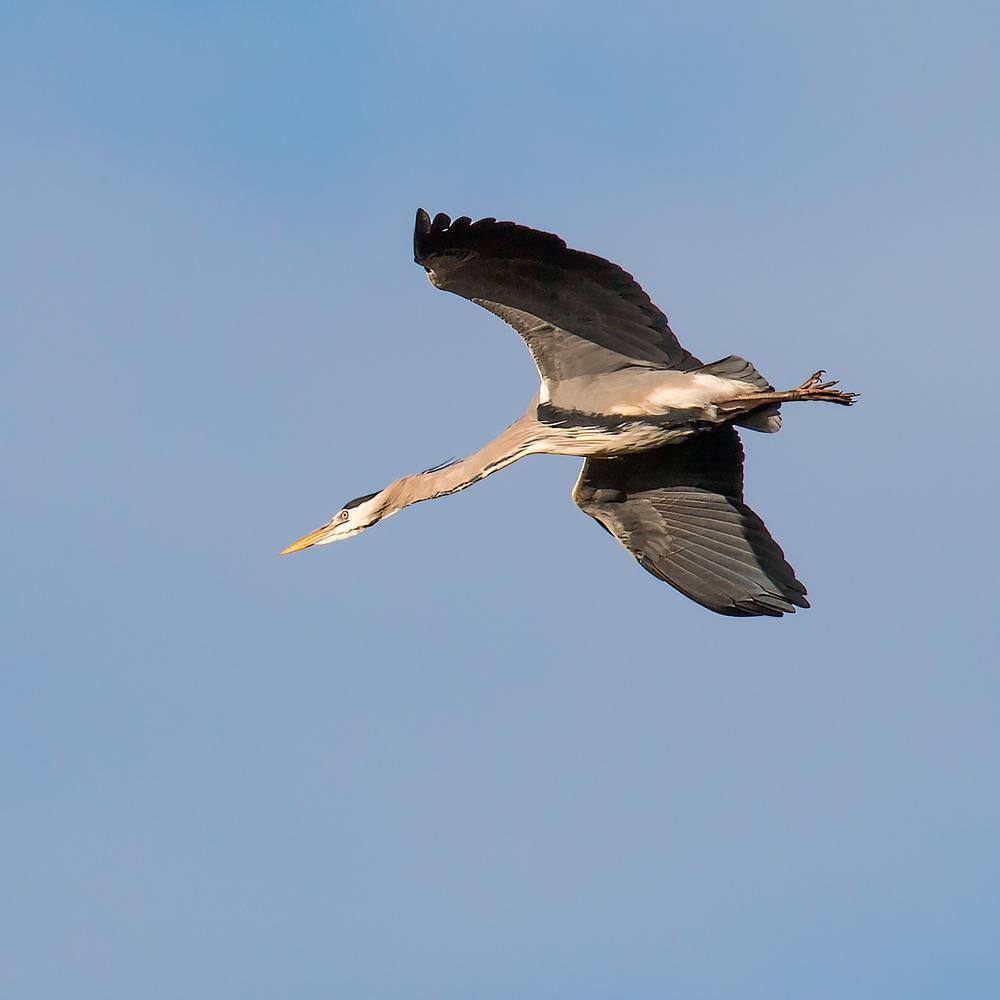 Grey Heron extending its neck