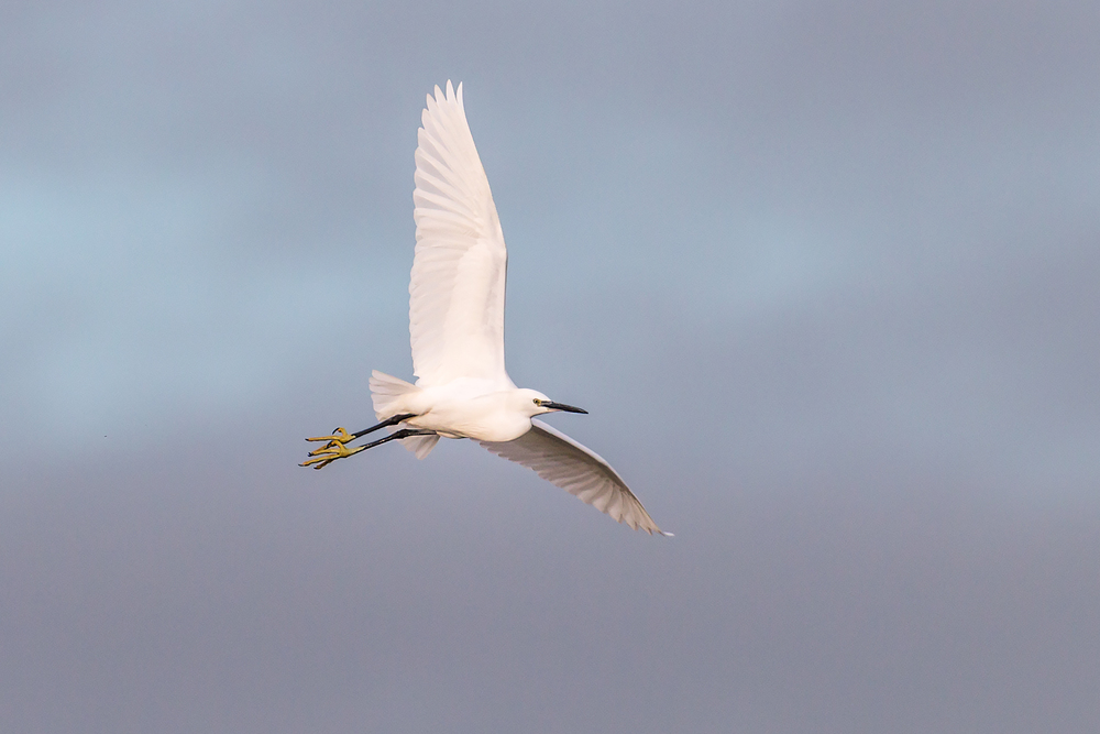 Little Egret flypast