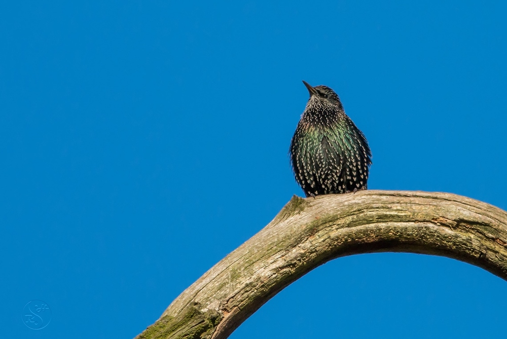A Starling pondering the imponderable