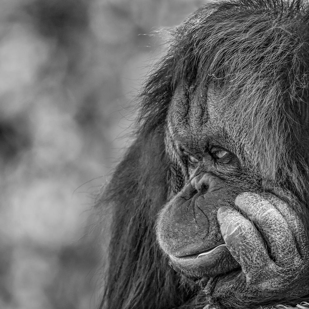 Orangutan in empty thought
