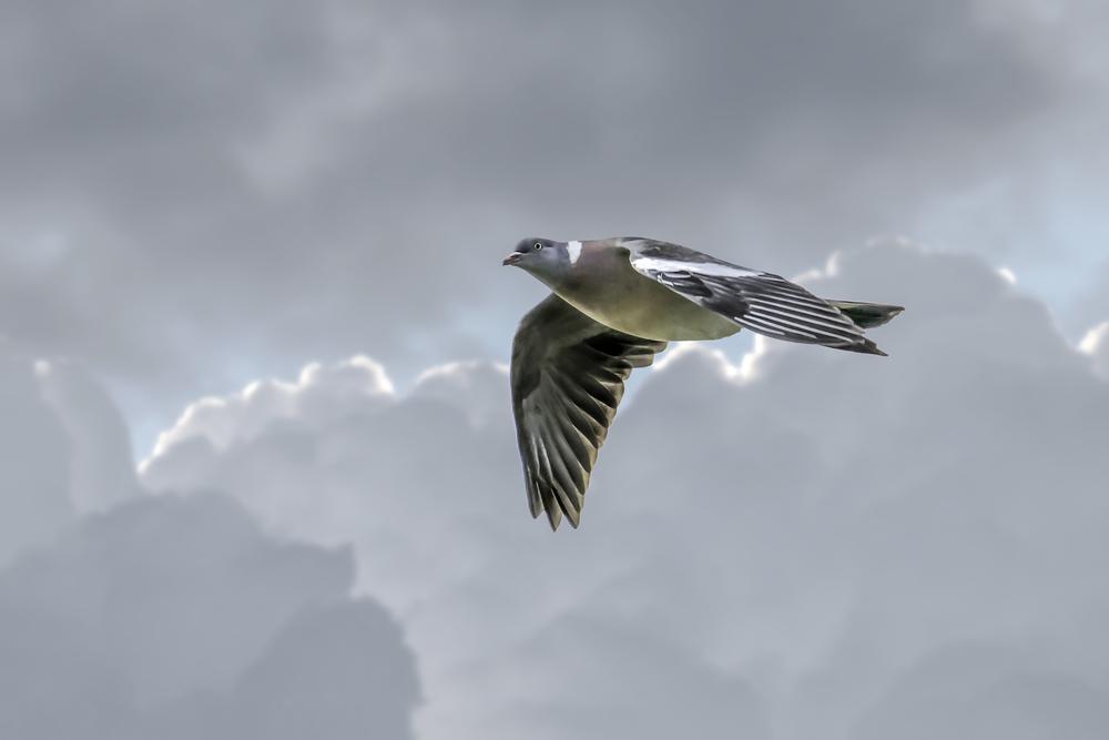 Pigeon flypast