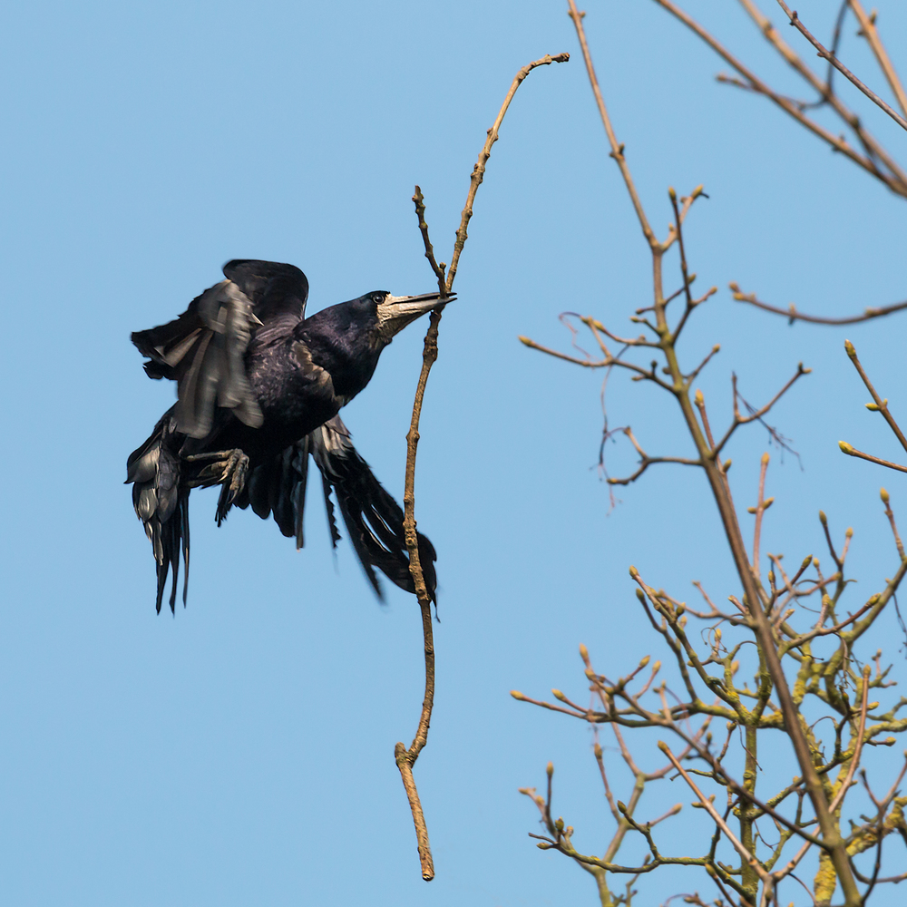 A Rook with nest material