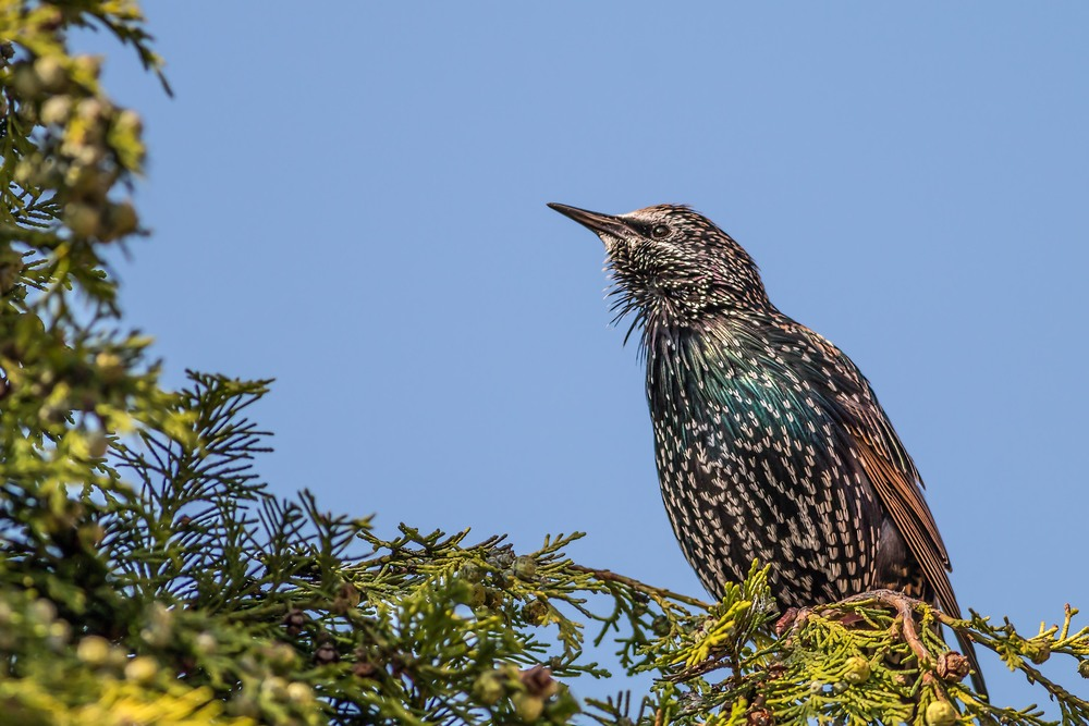 A Starling in summer plumage